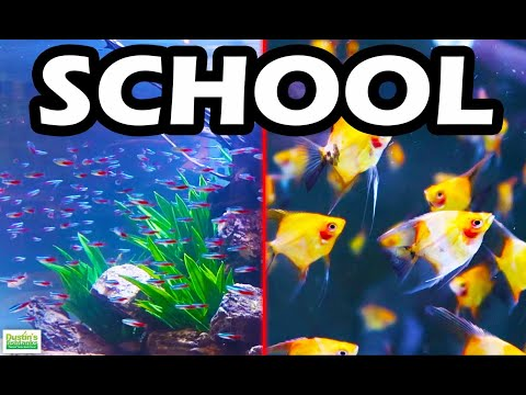 TOP 5 SCHOOLING AQUARIUM FISH: The Best Schooling Fish
