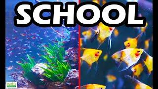 TOP 5 SCHOOLING AQUARIUM FISH:…
