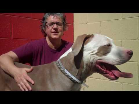 A5038688 Huero | Great Dane / Pit Bull