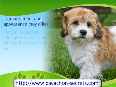 The Cute Cavachon