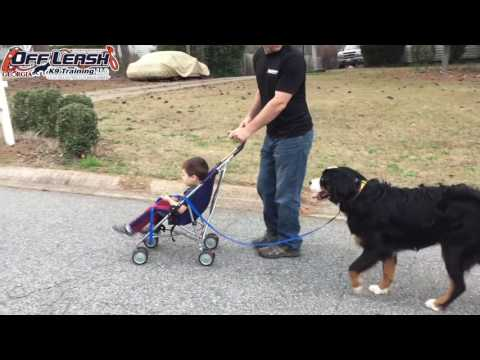 "9 Month Old Bernese Mountain Dog ""Holtby"" Before/After Video 