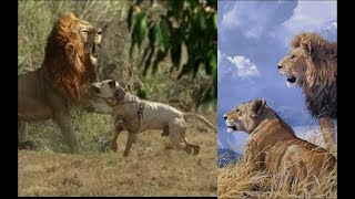 Hilarious moment a tiny dog confronts mating lions