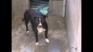 Onyx (2 Yr Old Sweet Staffie, Needs Foster Or Furever Home!!!)