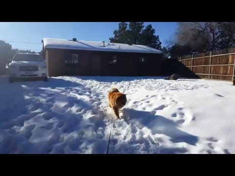 Funny Chow Chow Umka doesn't want to go home !