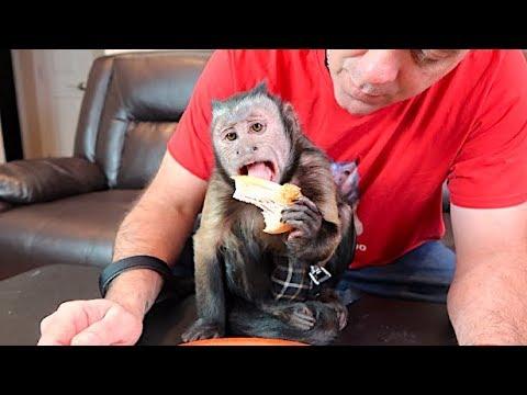 monkey-eats-thanksgiving-dinner