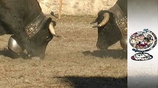 Battle of the Beasts: Swiss Cow Fighting