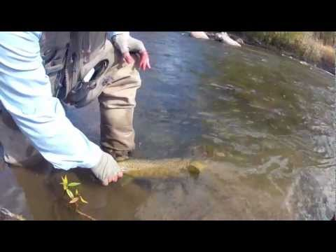 Big Brown Trout Dubois Wyoming Wind River Fly Fishing Report