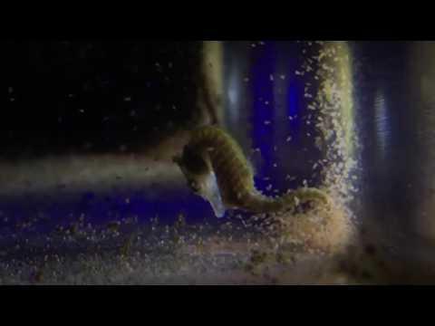 Dwarf seahorse eating