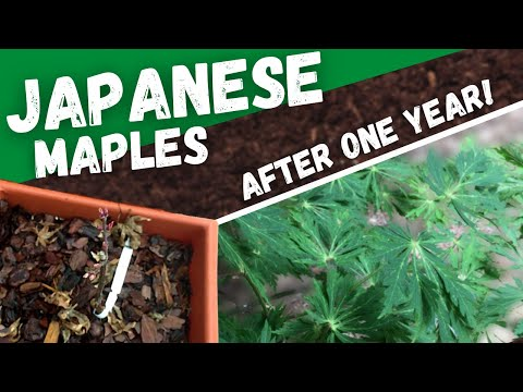 1 Year Of Japanese Maples - All Seasons Showcase