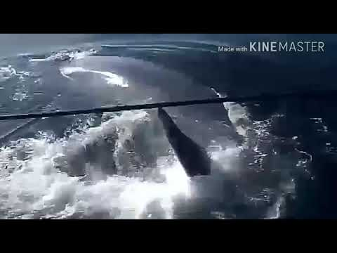 Biggest blue whale you never seen before.Blue whale biggest mammals in Indian ocean.US Navy .