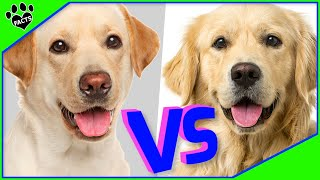 Golden Retriever Vs Labrador Retriever  Which is Better? Dog vs Dog