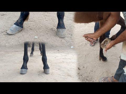horseshoeing indin