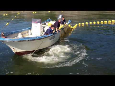 Bowhead whale in salmon trap_video (2012)/ Гренландский кит в неводе _репост (2012)