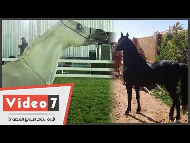 كل ما تريد معرفته عن الخيول فى 3 دقايق وما هو الفرق بين العربى والبلدى Youtube