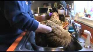 How To Give A Chicken A Bath - Easter Egger Hen