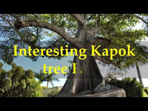 Interesting Kapok tree Facts