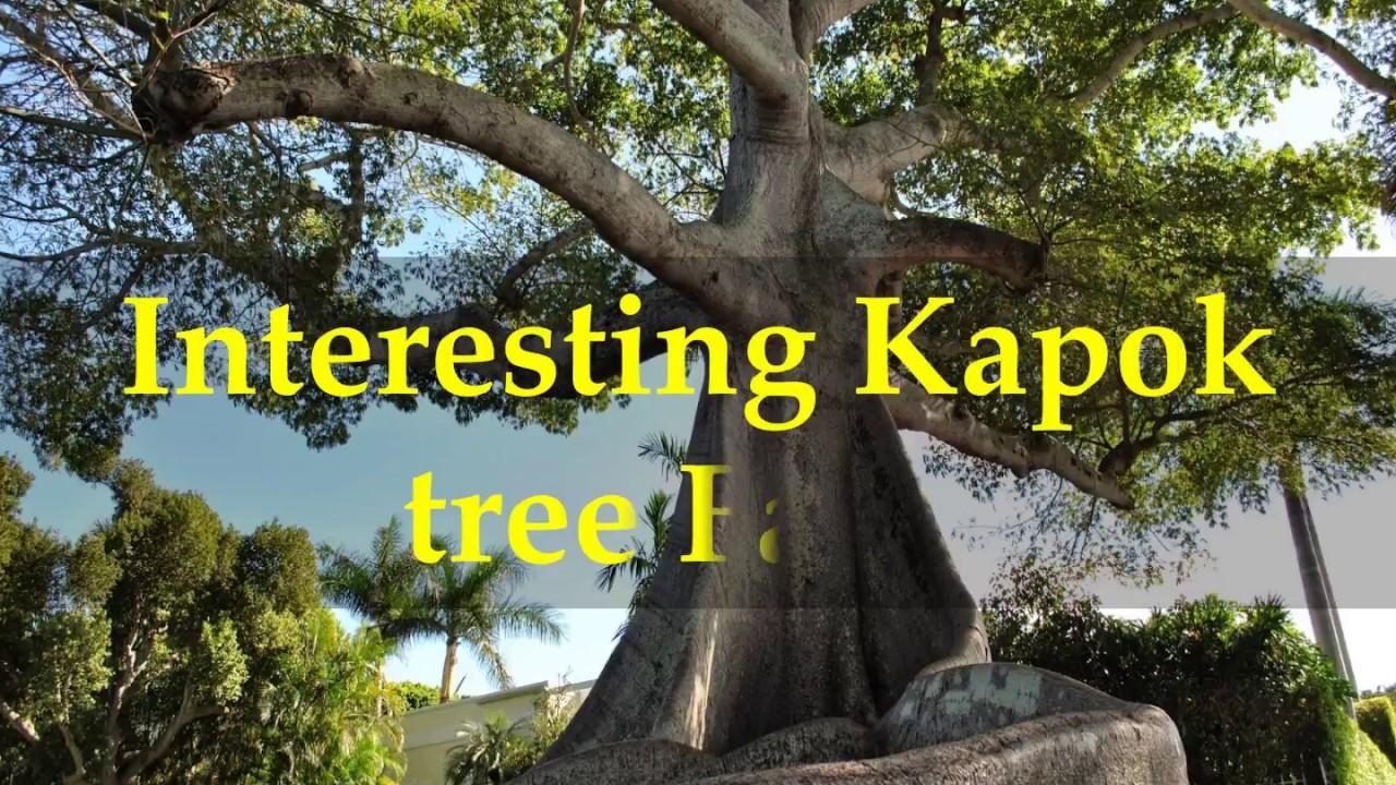 Interesting Kapok Tree Facts