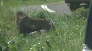 大分県アフリカンサファリのライオンゾーンにて。 普段からジャングルバ...