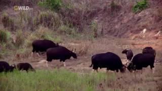◥◣ ◢◤ Дикая природа Таиланда | Nat Geo WILD HD| Документальный фильм