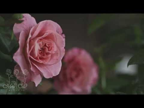 Роза Augusta Luise [ROSEN TANTAU]
