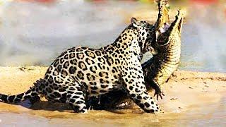 Jaguar Attacks Crocodile-National Geographic Wild Animals Fights Documentary