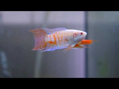 Paradise Fish Albino
