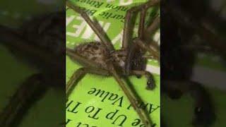 Dog Scared of Massive Spider