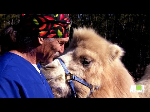 How to Neuter a Camel