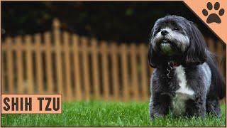 Shih Tzu Dog Breed Information   Dog World