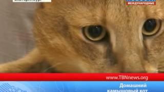 Домашний камышовый кот