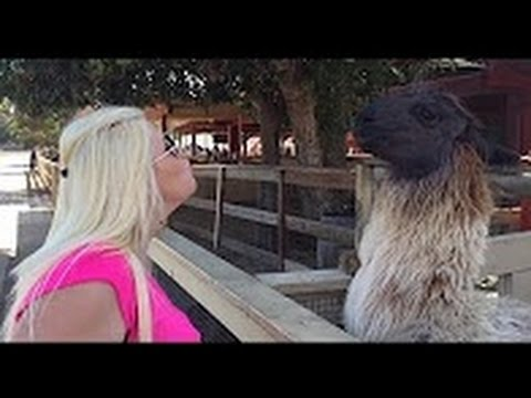 Download AWESOME Llama spit compilation ★Funny Pino★  Llama spits in woman's face