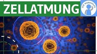 Zellatmung - Zusammenfassung & Überblick einfach erklärt - Funktion, ATP & ADP, Abschnitte - Bio