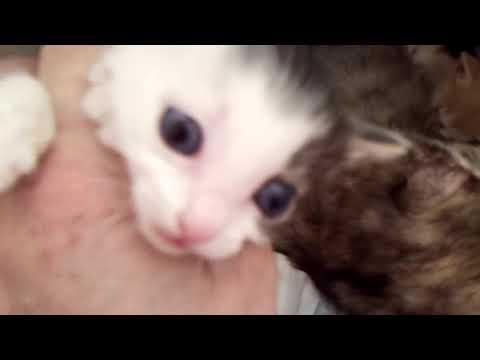 Japanese Bobtail Kittens from Cinder Litter - 11/17/18