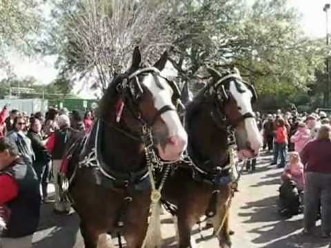 Budweiser Clydesdales Jacksonville Fl.