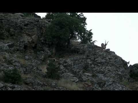 Bezoar ibex alive - photo#13