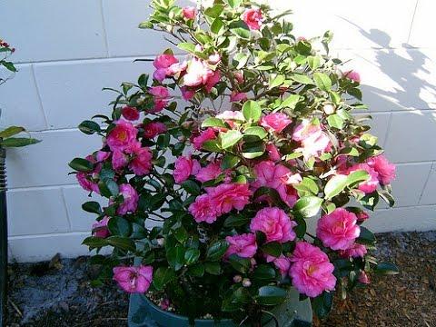 Camellia japonica (Common camellia), Camellia sinensis