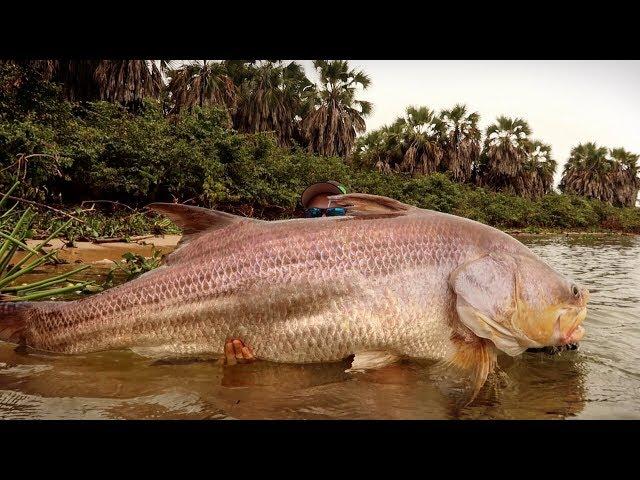 FLUSSMONSTER zerstört Angler - WELTREKORD?
