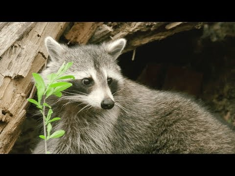 Cast of Crawford on working with live raccoons