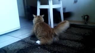 Вязка. Кот на кошке. Кошка кувыркается после