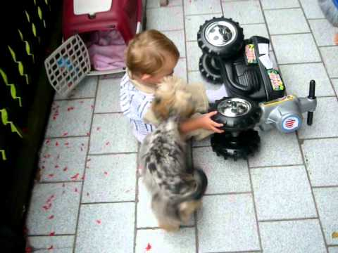 Biewer Yorskhire Terrier Blue Merle Youtube