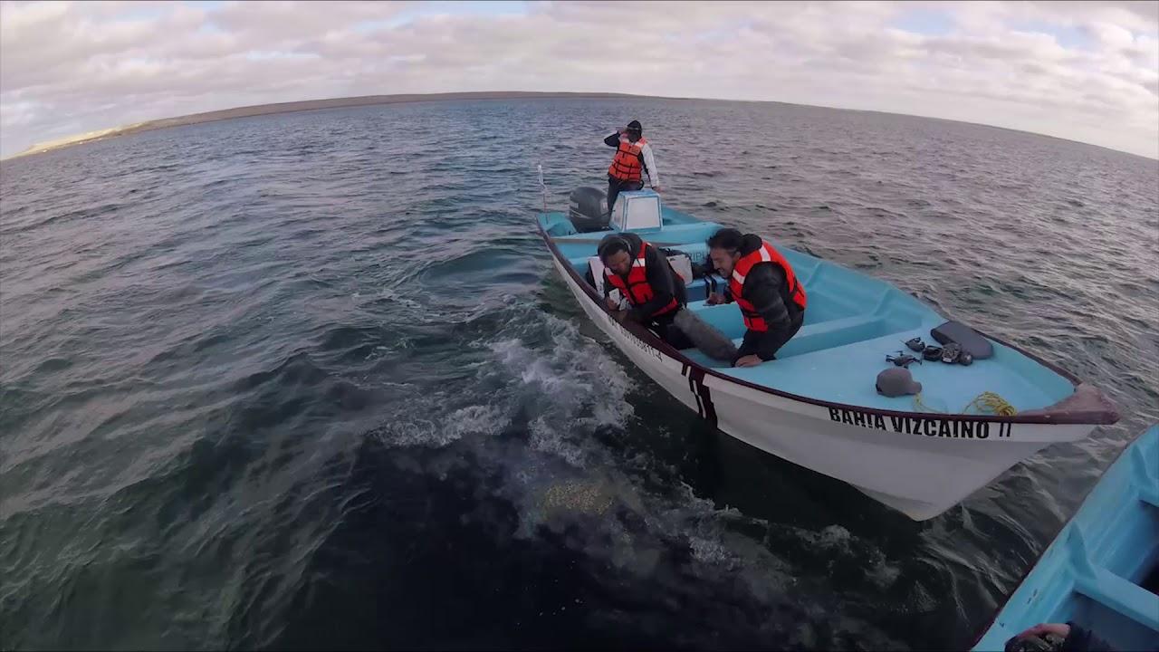 Los Juegos del Leviatán: ALTAZOR o El Viaje en Paracaídas (para ballenas)
