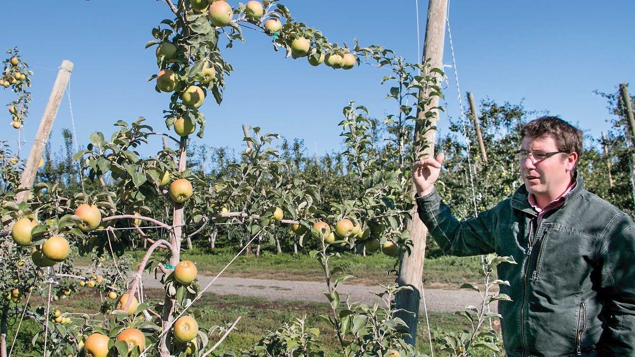 Growing Cider Trees On Trellis Systems Youtube