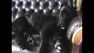 Пипец дивану(Коне Корса)