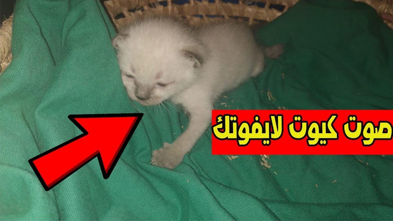 شاهد صوت قط صغير السيامي ينادي على امه التي تركته وحيدا بهذه الطريقة Youtube