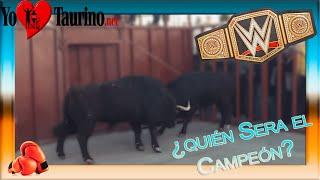 toro empotra a toro en el toril 3º toro de san blas de viana de cega por yotaurino net enero 2015