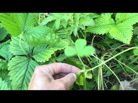 Jordgubbar föröka jordgubbsplantor så här får du mer jordgubbar odla i din trädgård eller balkong