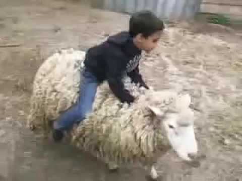 photo drole mouton