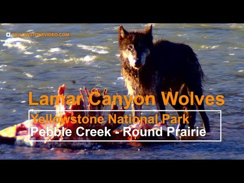The Lamar Canyon Wolves Defend their Elk kill from Coyotes - Yellowstone National Park