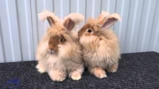 видео белая пуховая порода кроликов