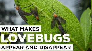 What Makes Lovebugs Appear and Disappear?